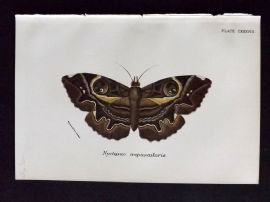 Lloyd 1890s Antique Moth Print. Nyclipao Crepuscularis